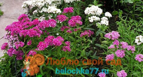 Гвоздика китайская: выращивание из семян 74