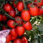 Томат Амулет: описание сорта, характеристика и выращивание с фото