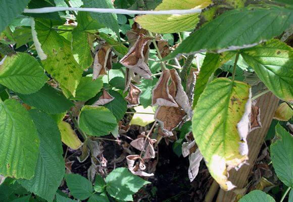 Болезни малины: способы лечения и борьба с ними, видео и фото