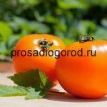 Помидоры Хурма: описание сорта, выращивание томата и уход, фото и видео