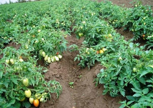 Сажать помидоры в 2017 34