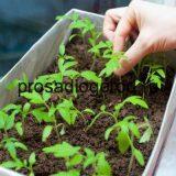 Как ускорить рост рассады помидор в теплице стимулятором или народными средствами, видео и фото