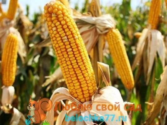 Кукуруза посадка и уход в открытом грунте на юге