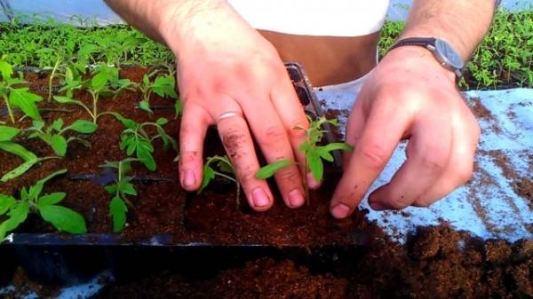 Китайский метод выращивания рассады 29