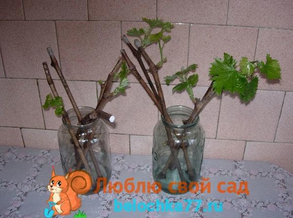 Как укоренить виноград из зеленых черенков