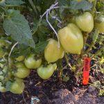 Томат Ухажер: характеристика и описание сорта, его урожайность с фото