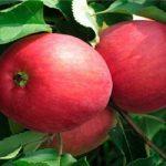 Томат Вано: описание и характеристика сорта, урожайность с фото