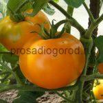 Помидоры Андромеда: описание сорта и выращивание, фото и видео