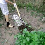 Дайкон: посадка и уход, выращивание в открытый грунт, сроки когда сажать