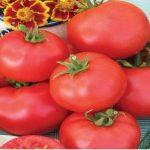 Томат Дар Заволжья: характеристика и описание сорта, урожайность с фото
