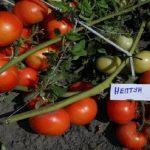 Томат Нептун: характеристика и описание сорта с фото