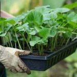 Как выбрать рассаду клубники