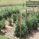Томат Диаболик: характеристика и описание сорта, урожайность с фото
