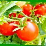 Томат Татьяна: характеристика и описание сорта, отзывы и урожайность