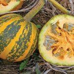 Тыква голосемянная: характеристика и описание сорта, выращивание с фото