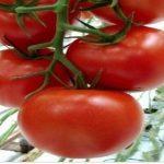 Томат Мелодия F1: отзывы, описание сорта помидоров с фото