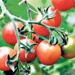 Томат Король ранних: характеристика и описание сорта, урожайность с фото