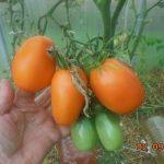 Томат Золотая пуля: характеристика и описание сорта, урожайность с фото