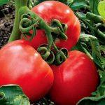 Томат Стреза: характеристика и описание сорта, урожайность с фото