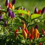 Перец Ласточка: характеристика и описание сорта, урожайность с фото