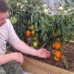 Томат Медовое сердце: описание сорта, как выращивать с фото