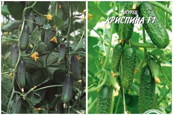 Огурцы криспина f1 выращивание 33