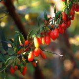 Ягоды годжи — полезные свойства и противопоказания