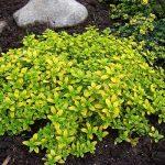 Тимьян (чабрец) лимонный: посадка и уход, выращивание из семян с фото