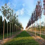 Как выбрать хорошее дерево в питомнике