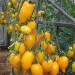 Томат Золотая канарейка: характеристика и описание индетерминантного сорта с фото