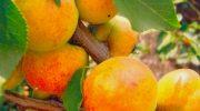 Особенности выращивания абрикосов на дачном участке