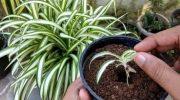 Способы размножения хлорофитума